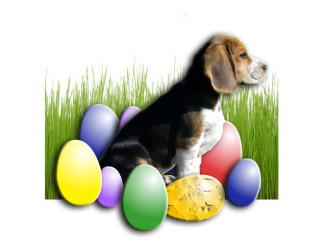 Beagle Paul wünscht frohe Ostern