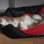 Beagle am Arbeitsplatz