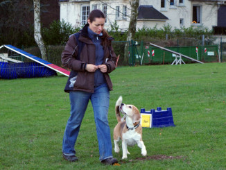 Beagle Beethoven vor dem Start - noch voll motiviert