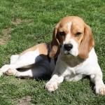Beagle Lilli vom Deistertal