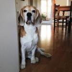 Beagle wartet ungeduldig