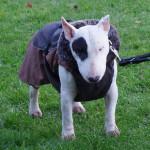 Bull Terrier Alfred ist der Coolste