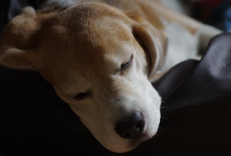 Beagle Beethoven im Lederkissen