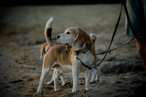 Beagles am Strand