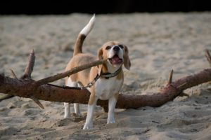 Beagle Indira