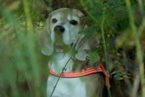 Beagle Beethoven