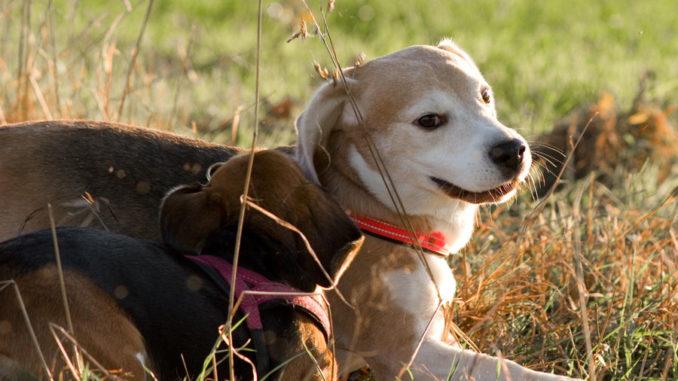 Beagle Spiel Einladung