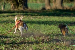 Beagle Jagdspiel