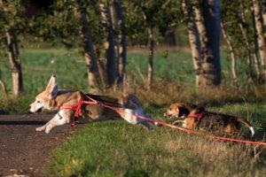 Beagles spielen Hund und Hase