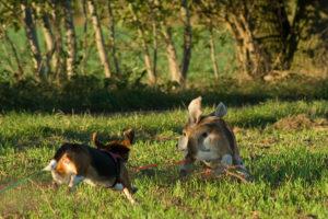 Beagle-Spiel Hund und Hase