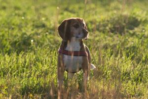 Beagle Lexy im hohen Gras