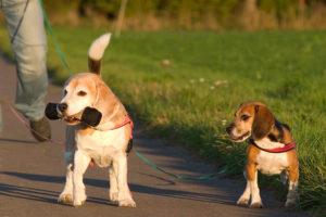 Beagles Lexy und Beethoven