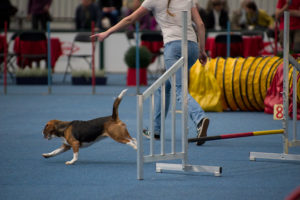 Beagle Agility Training