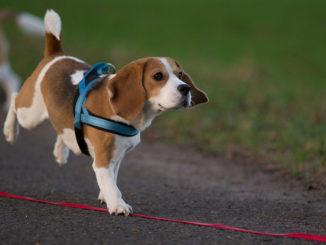Beagle Jara rennt